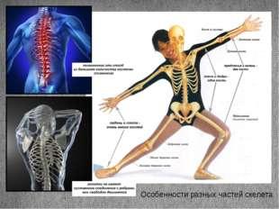 Особенности разных частей скелета Заголовок раздела Подзаголовок слайда
