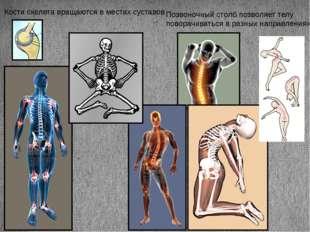 Кости скелета вращаются в местах суставов Позвоночный столб позволяет телу по