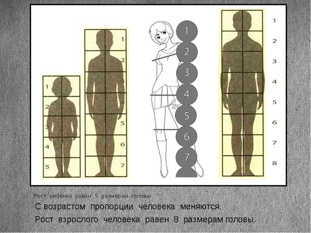 Рост ребенка равен 5 размерам головы. Рост взрослого человека равен 8 размера...
