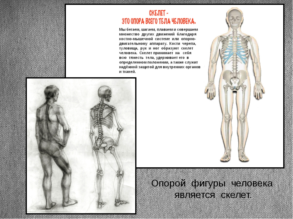 Опорой фигуры человека является скелет. Заголовок раздела Подзаголовок слайда