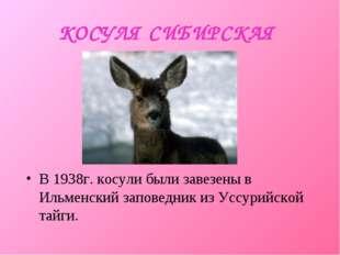 КОСУЛЯ СИБИРСКАЯ В 1938г. косули были завезены в Ильменский заповедник из Усс