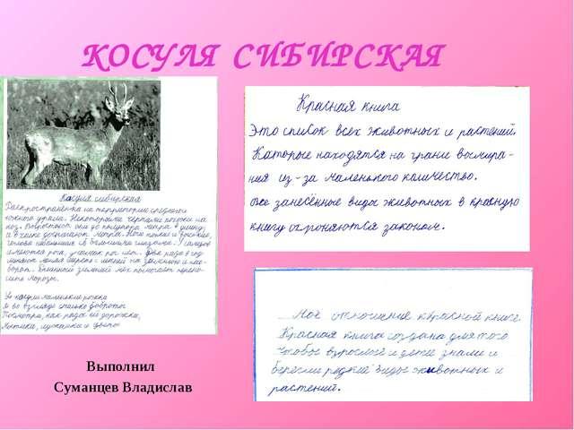 КОСУЛЯ СИБИРСКАЯ Выполнил Суманцев Владислав