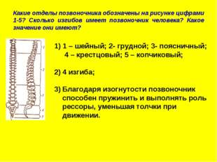 Какие отделы позвоночника обозначены на рисунке цифрами 1-5? Сколько изгибов