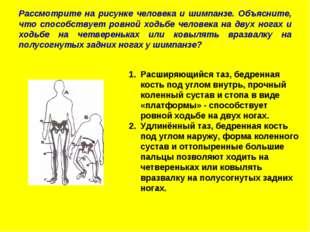 Рассмотрите на рисунке человека и шимпанзе. Объясните, что способствует ровно