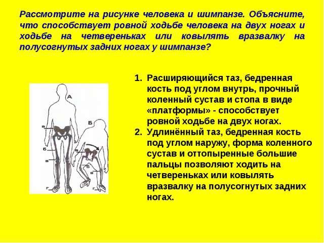Рассмотрите на рисунке человека и шимпанзе. Объясните, что способствует ровно...
