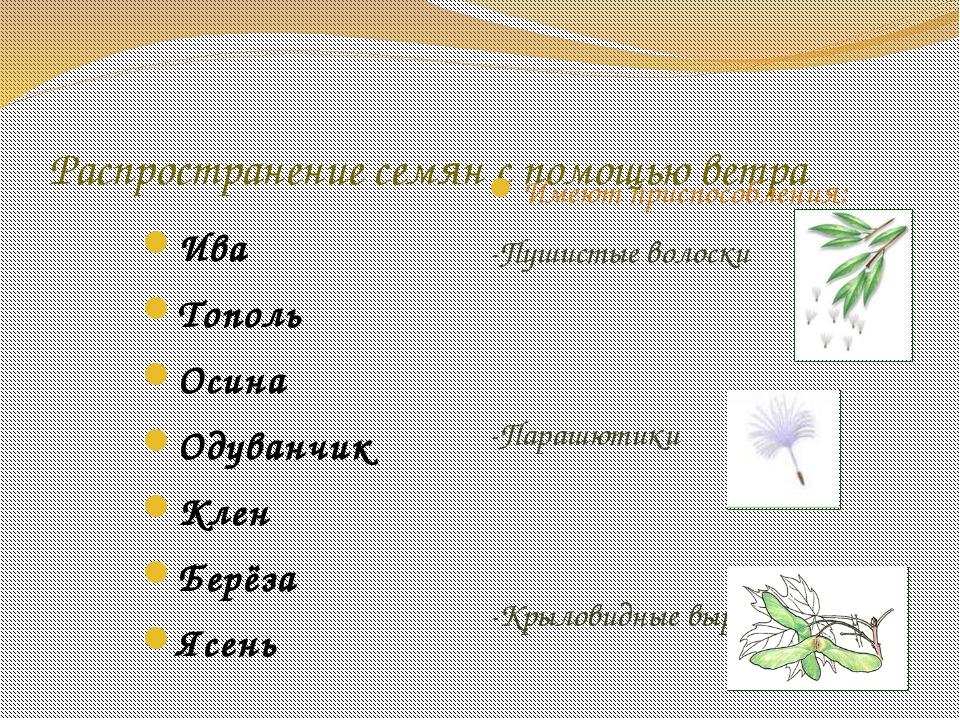 Распространение семян с помощью ветра Ива Тополь Осина Одуванчик Клен Берёза...