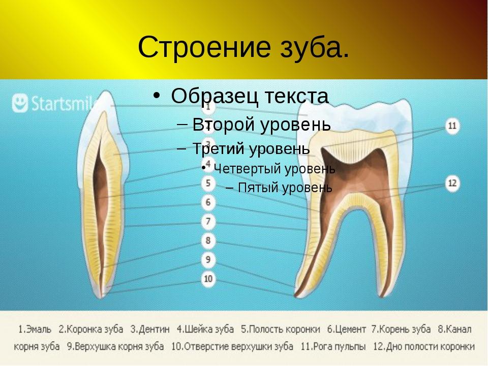 Строение зуба.