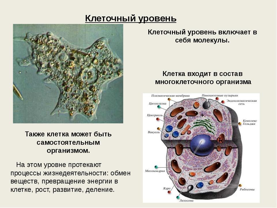 Клеточный уровень Клеточный уровень включает в себя молекулы. Клетка входит в...