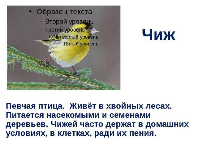 Чиж Певчая птица. Живёт в хвойных лесах. Питается насекомыми и семенами дерев...