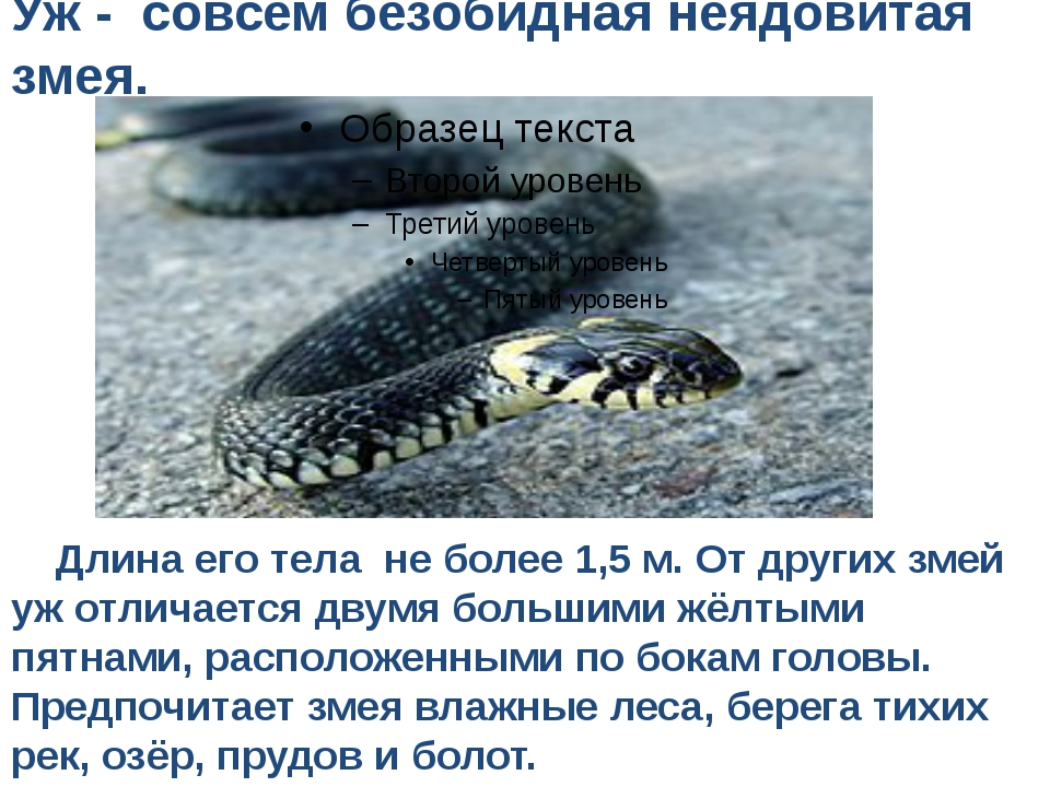 Уж - совсем безобидная неядовитая змея. Длина его тела не более 1,5 м. От дру...