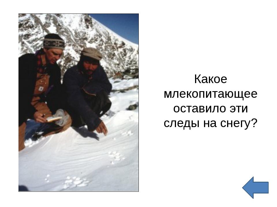 Какое млекопитающее оставило эти следы на снегу?