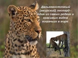 Дальневосточный (амурский) леопард - один из самых редких и красивых видов ко
