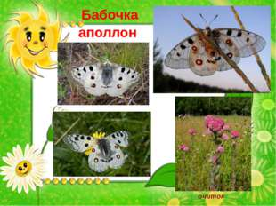 Бабочка аполлон очиток
