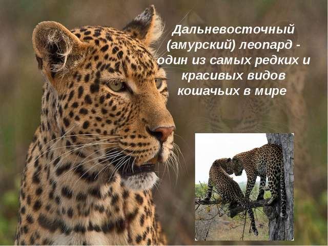 Дальневосточный (амурский) леопард - один из самых редких и красивых видов ко...