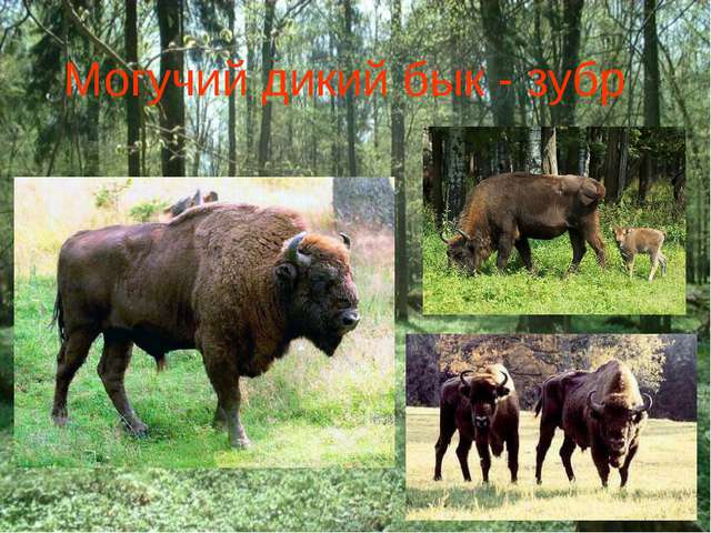 Могучий дикий бык - зубр