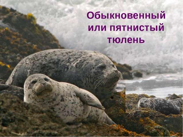 Обыкновенный или пятнистый тюлень