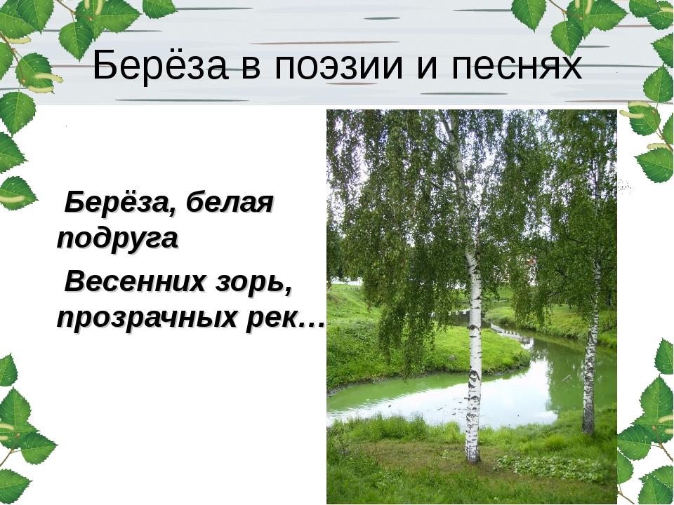Берёза в поэзии и песнях Берёза, белая подруга Весенних зорь, прозрачных рек…