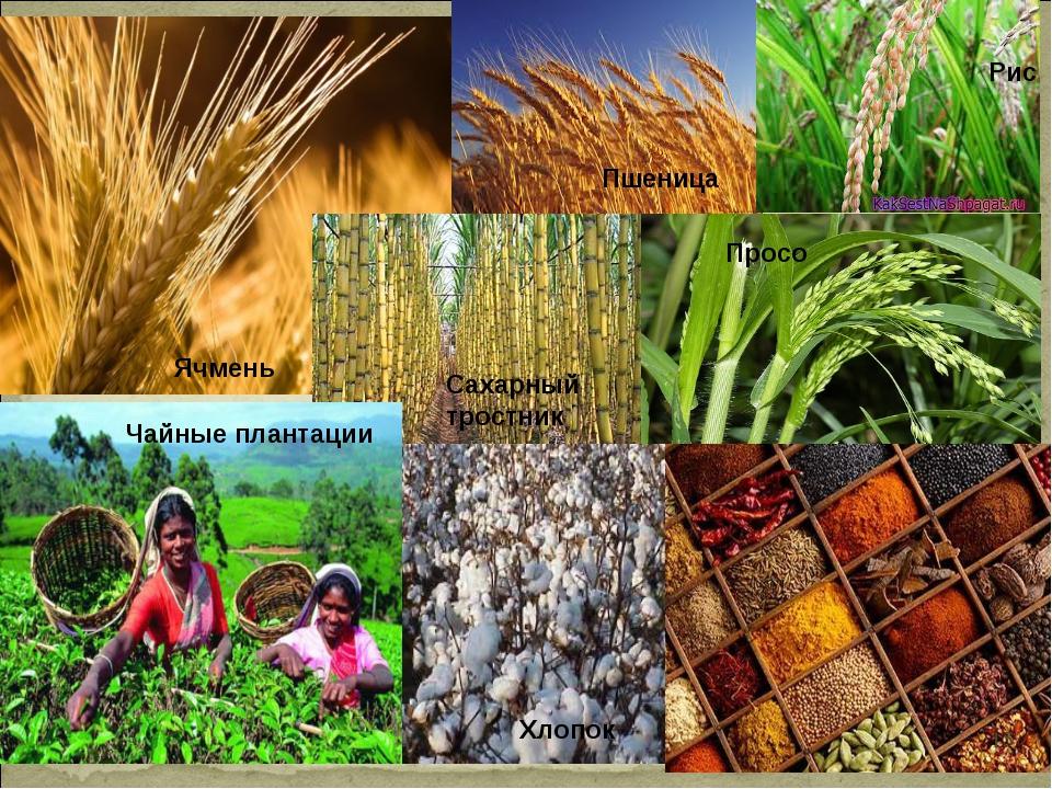 Ячмень Пшеница Рис Сахарный тростник Просо Хлопок Чайные плантации *