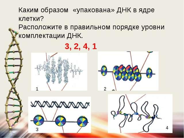 Каким образом «упакована» ДНК в ядре клетки? Расположите в правильном порядке...