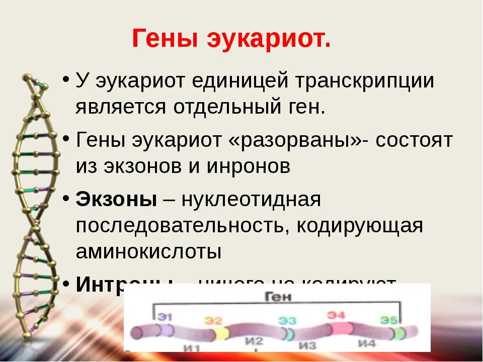 У эукариот единицей транскрипции является отдельный ген. Гены эукариот «разор...