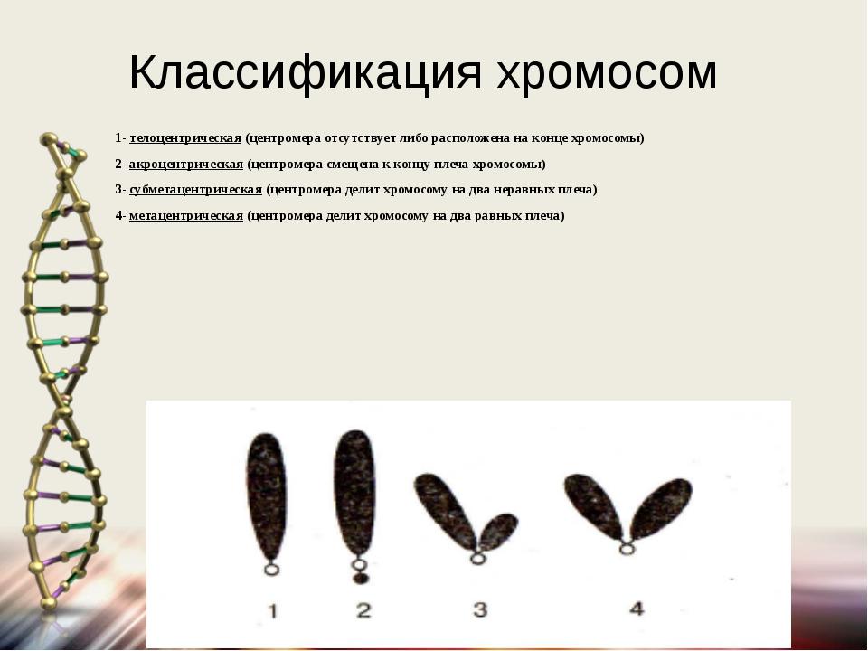 Классификация хромосом 1- телоцентрическая (центромера отсутствует либо распо...