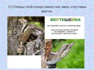 11.Птенцы этой птицы шипят как змеи, отпугивая врагов.