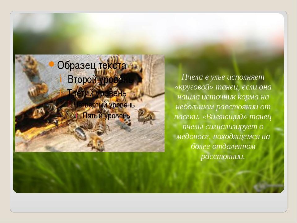 Пчела в улье исполняет «круговой» танец, если она нашла источник корма на не...