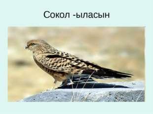 Сокол -ыласын