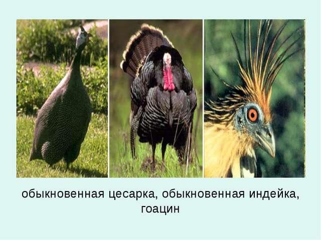 обыкновенная цесарка, обыкновенная индейка, гоацин