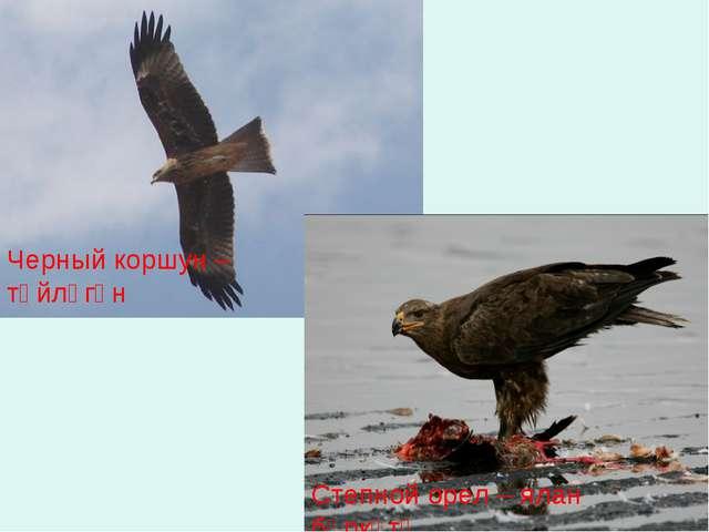 Степной орел – ялан бөркөтө Черный коршун – төйлөгән
