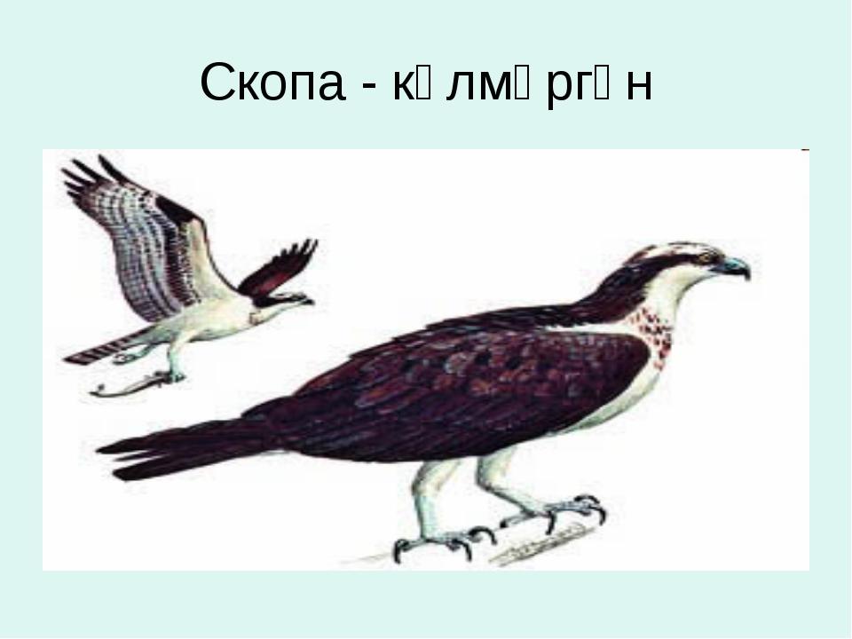 Скопа - кәлмәргән