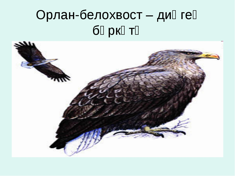 Орлан-белохвост – диңгеҙ бөркөтө