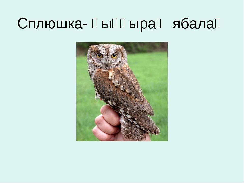 Сплюшка- һыҙғыраҡ ябалаҡ