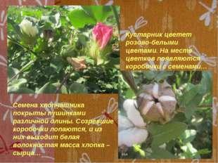 Кустарник цветет розово-белыми цветами. На месте цветков появляются коробочк