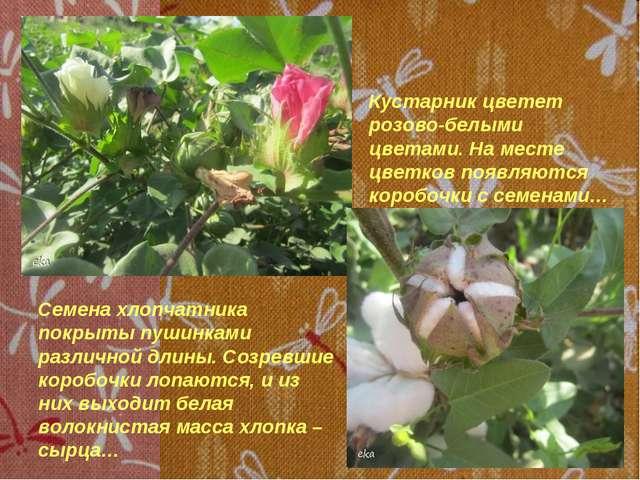 Кустарник цветет розово-белыми цветами. На месте цветков появляются коробочк...