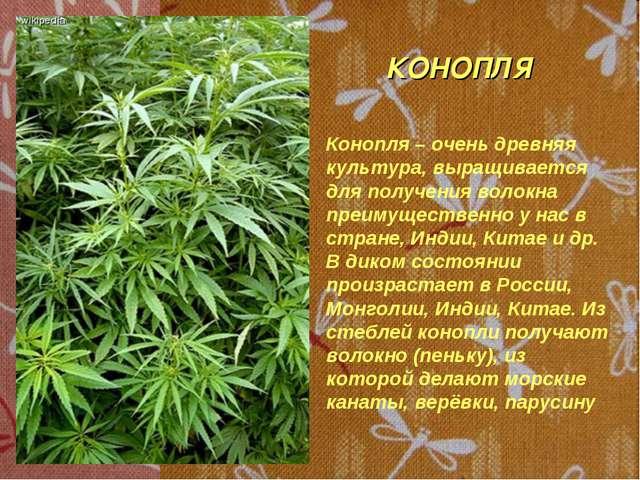 КОНОПЛЯ Конопля – очень древняя культура, выращивается для получения волокна...