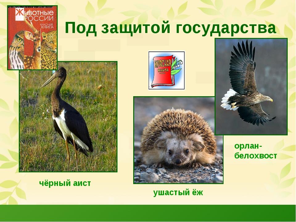 Под защитой государства чёрный аист орлан- белохвост ушастый ёж