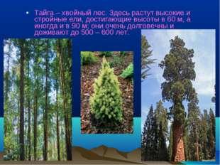 Тайга – хвойный лес. Здесь растут высокие и стройные ели, достигающие высоты