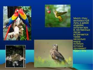 Много птиц: вилохвостый лунь и дикие индейки, попугаи ара. В лиственных лесах