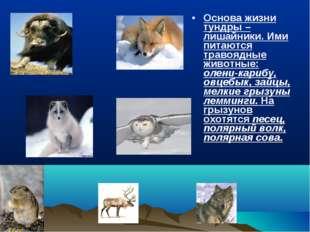 Основа жизни тундры – лишайники. Ими питаются травоядные животные: олени-кари