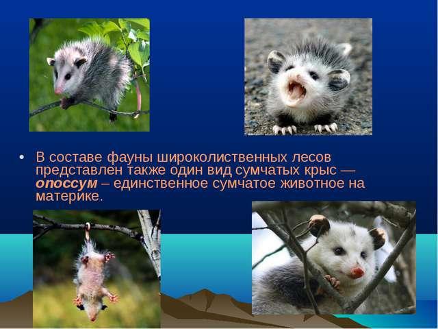 В составе фауны широколиственных лесов представлен также один вид сумчатых кр...
