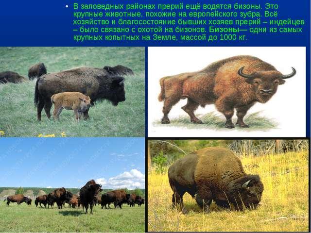 В заповедных районах прерий ещё водятся бизоны. Это крупные животные, похожие...