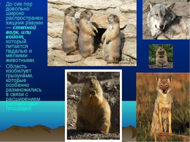 До сих пор довольно широко распространен хищник равнин — степной волк, или ко...