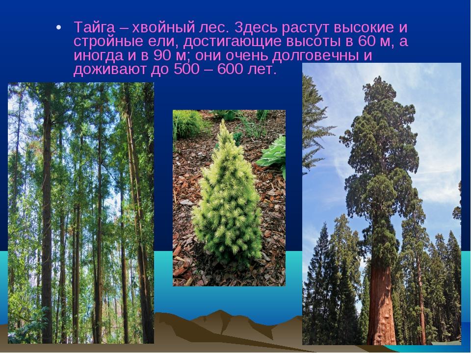 Тайга – хвойный лес. Здесь растут высокие и стройные ели, достигающие высоты...
