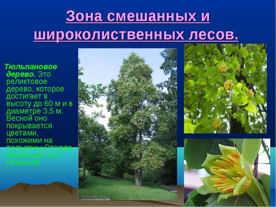 Зона смешанных и широколиственных лесов. Тюльпановое дерево. Это реликтовое д...