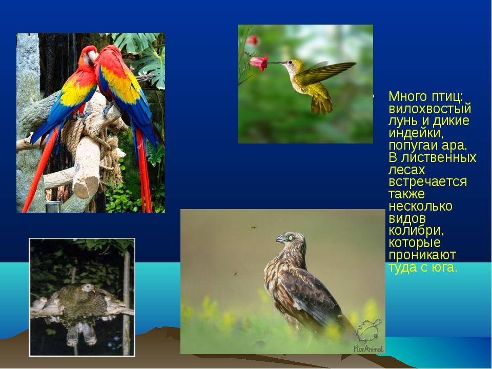 Много птиц: вилохвостый лунь и дикие индейки, попугаи ара. В лиственных лесах...