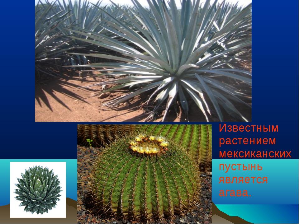 Известным растением мексиканских пустынь является агава.