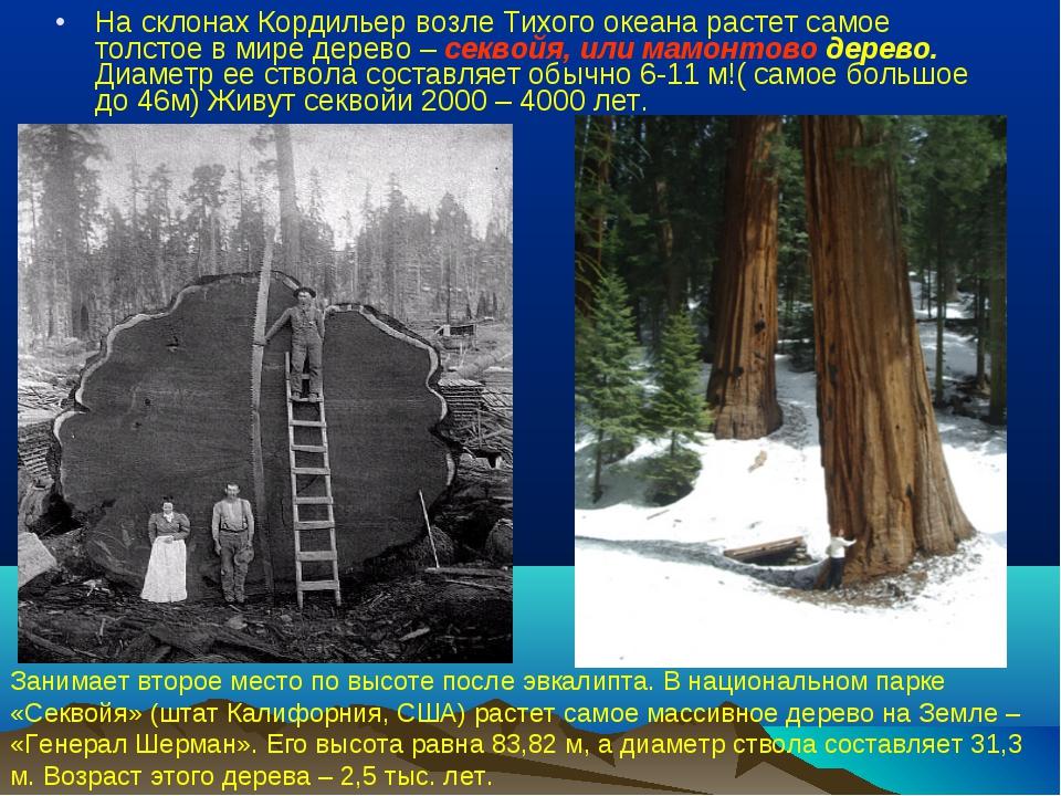 На склонах Кордильер возле Тихого океана растет самое толстое в мире дерево –...