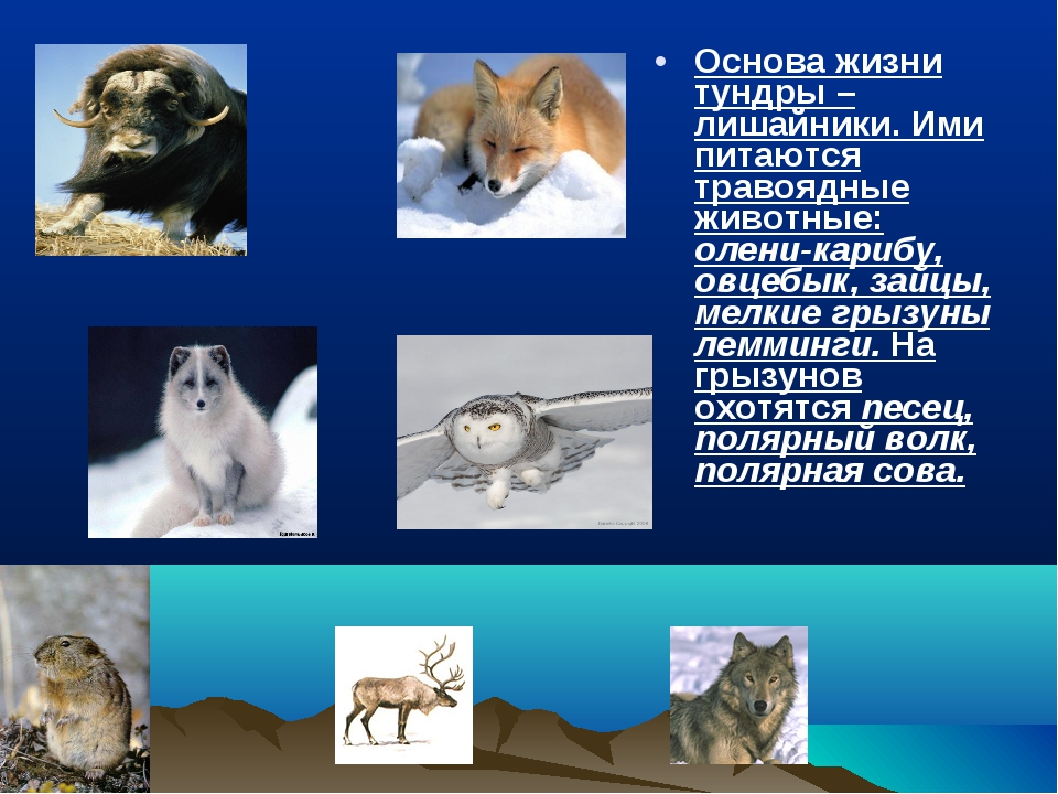 Основа жизни тундры – лишайники. Ими питаются травоядные животные: олени-кари...