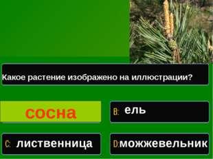 Какое растение изображено на иллюстрации Какое растение изображено на иллюстр
